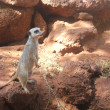 Stock Photo: Typical alert meerkat pose
