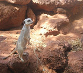 Typical alert meerkat pose — Stockfoto