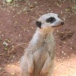Surricate meerkat standing upright — Stock Photo
