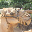 Stock Photo: Camel with muzzle