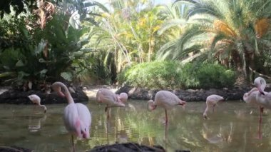 Group of pink flamingos standing in water — Stock Video