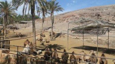 Paisaje con camellos — Vídeo de Stock