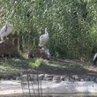 White storks at zoo — Stock Video
