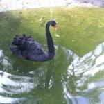 Swimming a black swan. — Stock Photo #43152675