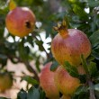 Foto Stock: Fresh ripe pomegranate tree outdoor in summer