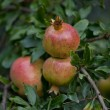 Fresh ripe pomegranate tree outdoor in summer — Stock Photo #13194294