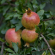 Fresh ripe pomegranate tree outdoor in summer — Stock Photo
