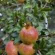 Fresh ripe pomegranate tree outdoor in summer — Stock Photo #13194301