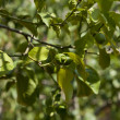Stock Photo: Fresh tasty green limes on tree in summer outside