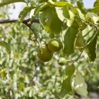 Fresh tasty green limes on tree in summer outside — Stock Photo