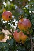 Verse rijpe granaatappelboom buiten in de zomer — Stockfoto