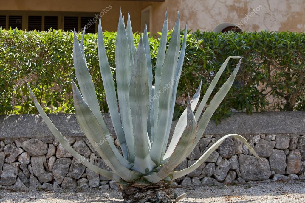 agave plante cactus aloe lext rieur en t. Black Bedroom Furniture Sets. Home Design Ideas