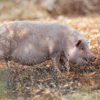 Stock Photo: Domestic pig mammal outdoor in summer