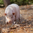 Domestic pig mammal outdoor in summer — Stock Photo