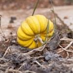Fresh orange yellow pumpkin in garden outdoor — Stock Photo
