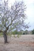 Almond nut fruit tree outdoor in sumemr autumn — Stock Photo