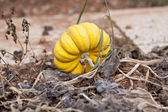 Fresh orange yellow pumpkin in garden outdoor — Stock Photo