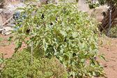 Healthy eggplant aubergine purple outdoor in summer — Stock Photo