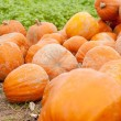 Orange yellow pumpkin outdoor in autumn - Foto Stock
