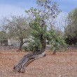 Carob tree Ceratonia siliqua outside in summer - Stock Photo