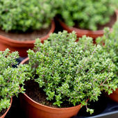 Fresh green aromatc thyme herb macro — Stock Photo