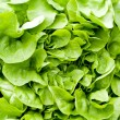 Fresh green salad lettuce closeup macro — Stock Photo
