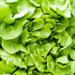 Fresh green salad lettuce closeup macro — Stock Photo #24139575