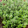 Fresh green aromatc thyme herb macro - Stock Photo