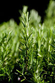 Fresh aromatic green rosemary macro — Stock Photo