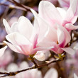 Pink magnolia tree flower outdoor in spring — Stock Photo #25516153