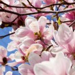 Pink magnolia tree flower outdoor in spring — Stock Photo