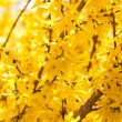 Yellow forsythia blossom in spring outdoor - Stock Photo