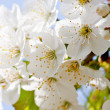 Beautiful white blossom in spring outdoor - Stok fotoğraf