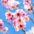 Cherry blossom and blue sky in spring — Stock Photo #25519359