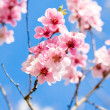 Stock Photo: Cherry blossom and blue sky in spring