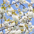 Beautiful white blossom in spring outdoor - Stock Photo