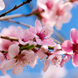 Cherry blossom and blue sky in spring — Stock Photo