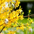 Easte egg and forsythia tree in spring outdoor — Stock Photo #25522207