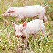 Cute little pig piglet outdoor in summer — Stock Photo #27118949