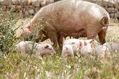 Cute little pig piglet outdoor in summer — Stock Photo