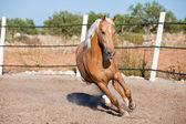 Beautiful blond cruzado horse outside horse ranch field — Stock Photo