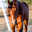 Trotteur francais trotter horse gelding outdoor — Stock Photo