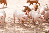 Cute little pig piglet outdoor in summer — Stock Photo
