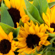 Colorful yellow sunflowers macro outdoor — Stock Photo #29408129
