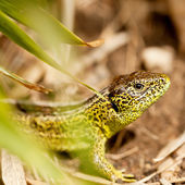 Green and brown lizard macro closeup in nature outdoor summer — Stock Photo