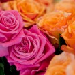 Colorful beautiful roses flowers macro closeup card background — Стоковая фотография