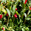 Spicy red hot chilli pepper on tree in summer outdoor — Stock Photo