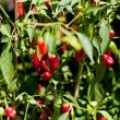 Spicy red hot chilli pepper on tree in summer outdoor — Stock Photo #30407605