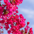 Beautiful pink magenta bougainvillea flowers and blue sky — Stock Photo #30411805
