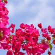 Beautiful pink magenta bougainvillea flowers and blue sky — Stock Photo #30411817